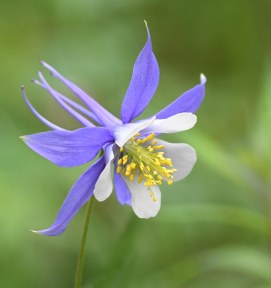 Aquilegia coerulea_Colorado Columbine_EmeraldValley-EPC-CO_LAH_1033