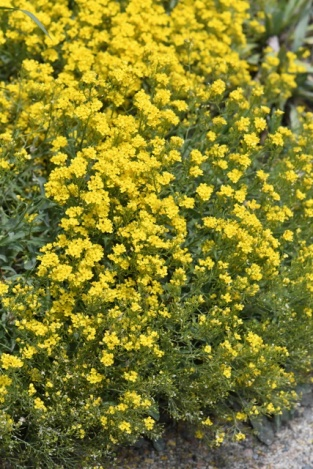Aurinia saxatilis_Basket of Gold_DBG-CO_LAH_8371