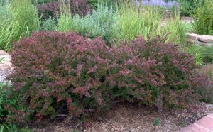 Berberis thunbergii var atropurpurea 'Crimson Pygmy' - Barberry_XG_20090826_LAH_9673.nef