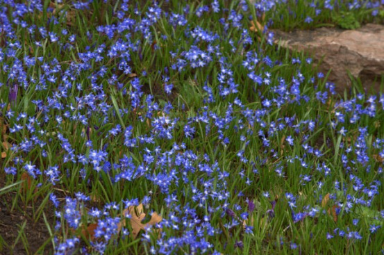 Chionodoxa luciliae_Glory-of-the-Snow_DBG_20100417_LAH_3105