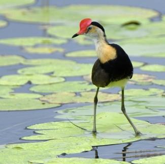 comb-crested-jacana_cattanawetlands-cairns-qld-australia_lah_4166