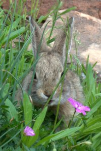 Cottontail Rabbit_HudsonGardens-CO_LAH_5917