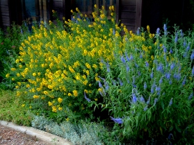 Cytisus pergans - Spanish Gold Hardy Broom @BlackForest LAH 258