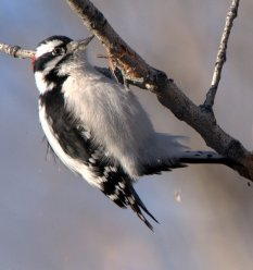 Downy Woodpecker_Cherry Creek SP-CO_LAH_2555