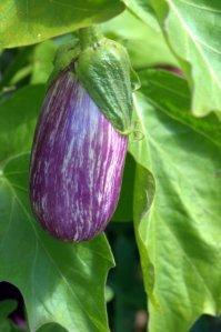 Eggplant_DBG_LAH_7644