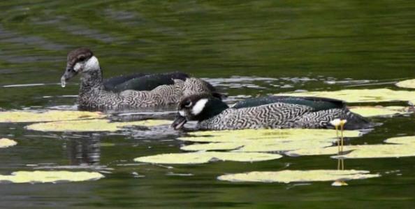 green-pygmy-goose_cattanawetlands-cairns-qld-australia_lah_4147