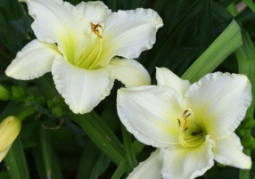 Hemerocallis_Daylily_HASDemoGarden-COS-CO_LAH_9463