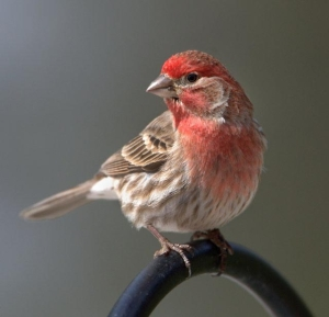House Finch_BlkForest_20100424_LAH_3257