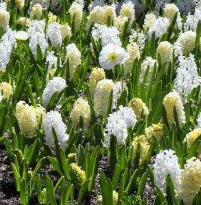 Hyacinth_DBG-CO_LAH_6788