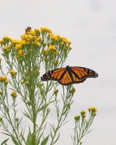 Monarch Butterfly_FCNC_LAH_5630