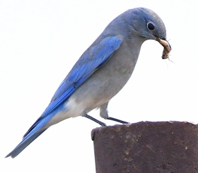 Mountain Bluebird_ChicoBasinRanch-CO_LAH_1248-001