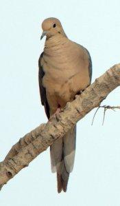 Mourning Dove_SanPedroHouse-AZ_LAH_4370