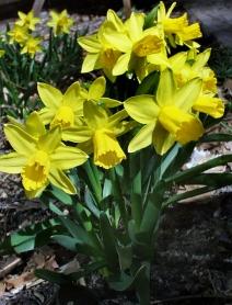 Narcissus - Daffodils @DBG LAH 001