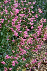 Penstemon barbatus 'Elfin Pink'_HASDemoGarden-COS-CO_LAH_9447