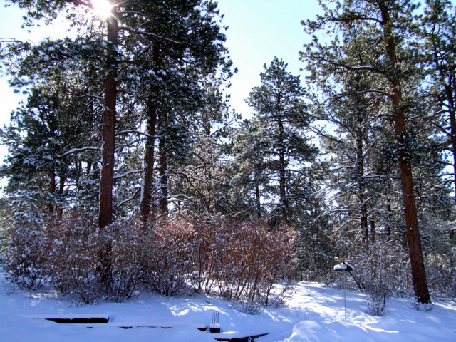 Ponderosa and scrub oak in snow @BlkForest LAH1.JPG