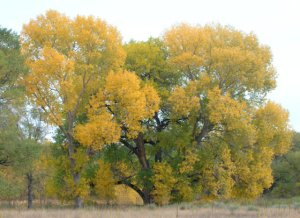 Populus_Cottonwood_FCNC-CO_LAH_3560