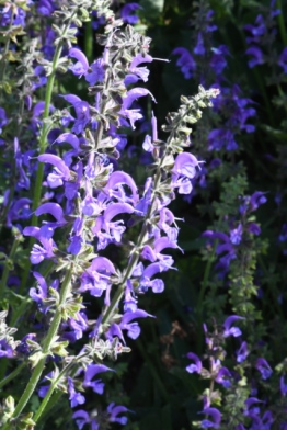 Salvia pratensis_Meadow Clary Sage_XG-COS-CO_LAH_8636