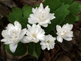 Sanguinaria canadensis 'Multiplex'_Bloodroot_DBG_LAH_002