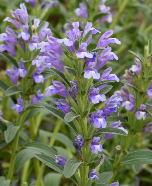 Scutellaria_Skullcap_HASDemoGarden-COS-CO_LAH_9497