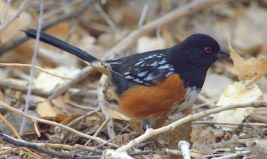 Spotted Towhee_BosquedelApacheNWR-NM_LAH_6546