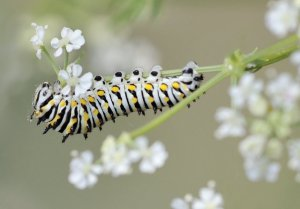 Swallowtail caterpillar_BCNC_LAH_2041-1