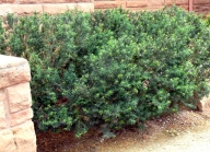Taxus cuspidata - Japanese Yew @CC 2003jul06 LAH 004