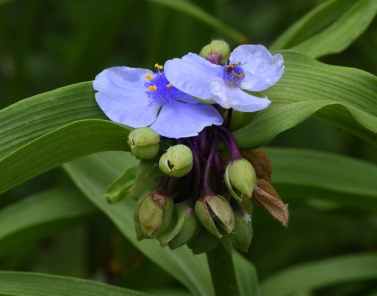 Tradescantia virginiana_Spiderwort_HASDemoGarden-COS-CO_LAH_9458