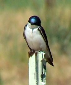 Tree Swallow @EWash 2006jun20 LAH 003f