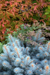 Bowman's Root and Blue Spruce_DBG_LAH_4163