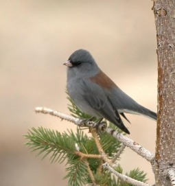 Dark-eyed Junco_RMNP_LAH_8448f