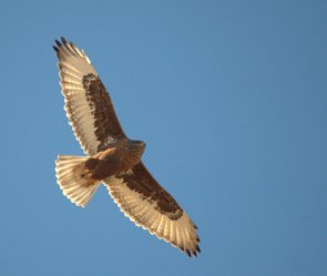 Ferruginous Hawk - Dark Morph_ElPasoCounty-CO_LAH_9774