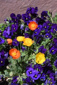 Papaver nudicaule_Icelandic Poppy_Violas_DBG-CO_LAH_6797
