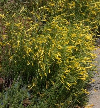 Penstemon pinifolius 'Mersea Yellow'_Pineleaf Penstemon_DBG_LAH_1616