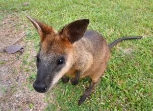 swamp-wallaby_daintreewildzoo-qld-australia_lah_4968