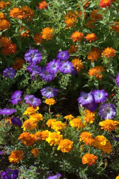 Tagetes, Petunias, Zinnias_Marigold_DBG_LAH_7914