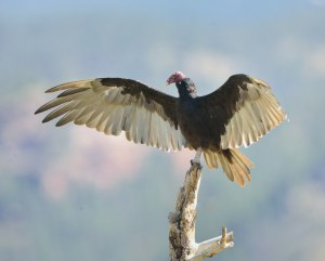 Turkey Vulture_Hwy67-HaymanBurnArea-CO_LAH_1093