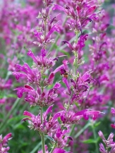 Agastache cana 'Sinning' bloom