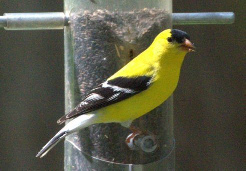 American Goldfinch_American Goldfinch_GardenCity-KS_LAH_5354