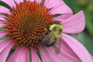 Bee on Purple Coneflower_DBG_LAH_0452