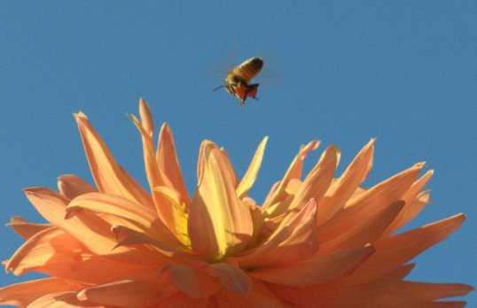 Bee over Dahlia 'Tropic Sun'_HudsonGardens-LittletonCO_LAH_9312