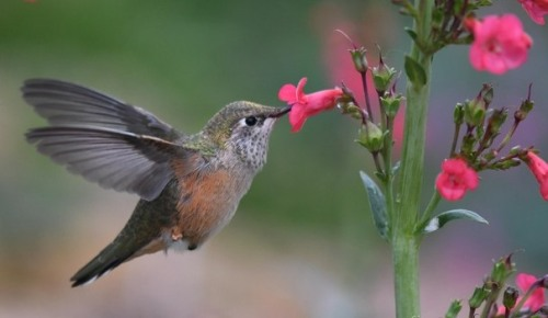 Broad-tailed Hummingbird_XG-COS-CO_LAH_9386