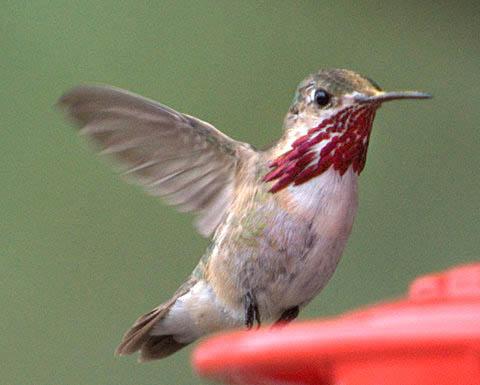 Calliope Hummingbird_BlkForest-CO_LAH_6692