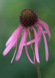 Echinacea pallida_Coneflower_XG_ColoSpgs-CO_LAH_5864