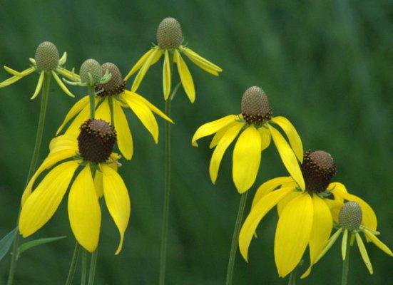 Echinacea paradoxa_Yellow Coneflower_XG_ColoSpgs-CO_LAH_5671
