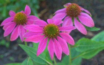 Echinacea purpura_Purple Coneflower_FederalWay-WA_LAH_4030