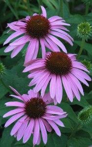 Echinacea purpura_Purple Coneflower_XG_ColoSpgs-CO_LAH_5652