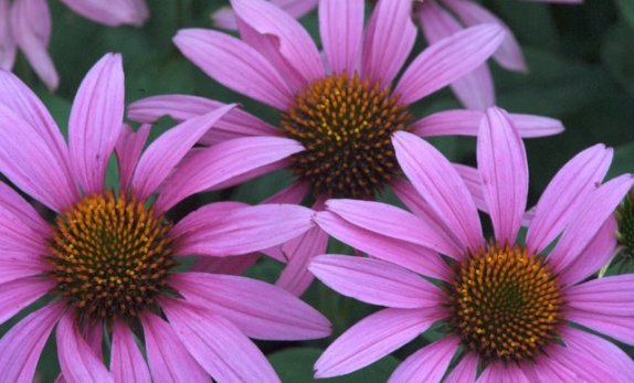 Echinacea purpura_Purple Coneflower_XG_ColoSpgs-CO_LAH_5655