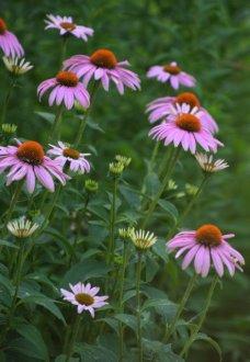 Echinacea_Coneflower_LakewoodNC-SalinaKS_LAH_4217