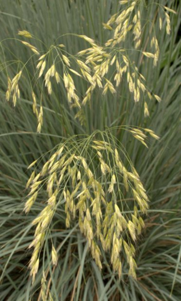 Helictotrichon sempervirens_Oat Grass_DBG_LAH_0731