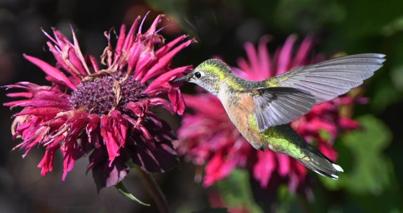 Hummingbird on Monarda_NewSantaFeTrl-COS-CO_LAH_2496